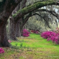 Ancient live oaks arch over azaleas at Magnolia Plantation near Charleston, South Carolina.