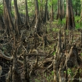 A jungle of cypress knees near Deep Creek in Volusia County, Florida. A fall while hiking in this terrain can have serious consequences.