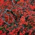 Japanese Maple, Portland, Oregon