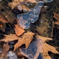 Oak leaves in ice at Tinker's Creek State Nature Preserve in northeast Ohio.