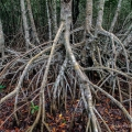 The arching prop roots of red mangrove trees create an impenetrable forest near Flamingo in Everglades National Park, Florida.