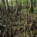 Cypress Knee Jungle, Deep Creek