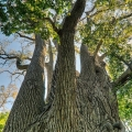 The largest Eastern Cottonwood Tree in the United States is located in Delaware County in central Ohio.