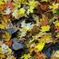 Maple Leaves, Hunting Valley, Ohio