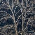 Sycamore Tree near Dover, Ohio