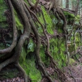 Tree Roots, Hocking State Forest, Ohio