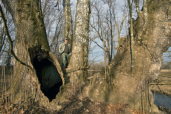 American Sycamore and photographer, Jeromesville, Ohio