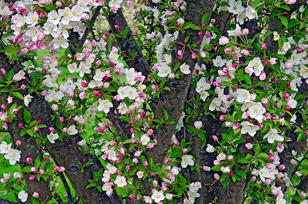 Picture Ohio! Secrest Arboretum Crabapple Display