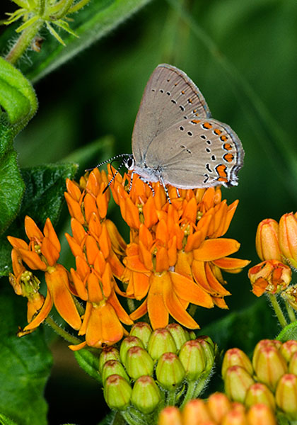Coral Hairstreak on Butterfly Weed, Logan County, Ohio