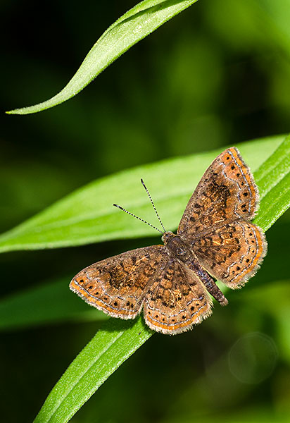 Northern Metalmark, Franklin County, Ohio