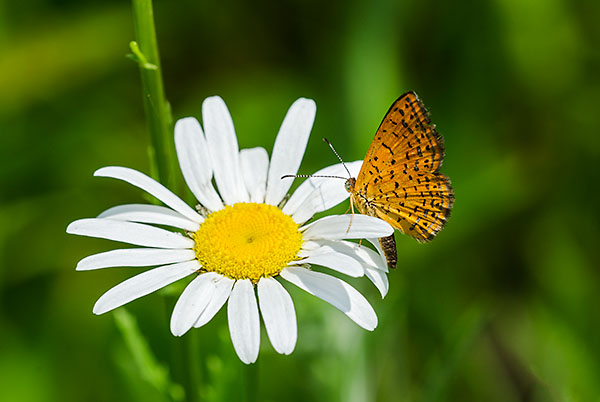 Northern Metalmark on Oxeye Daisy, Franklin County, Ohio