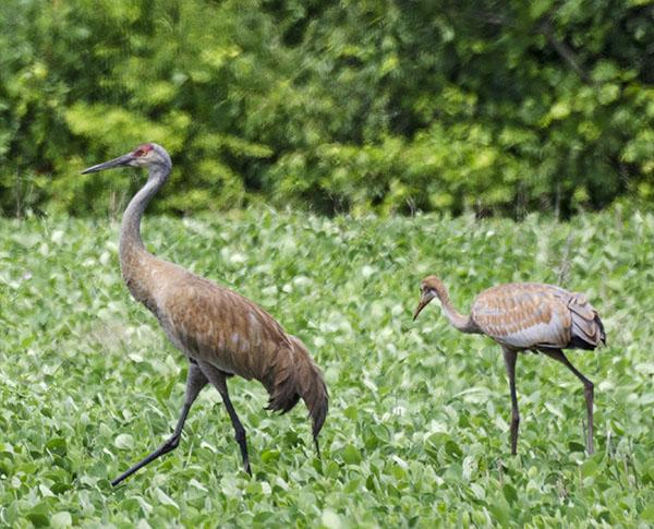 Sandhill-Cranes-Burton-Web.jpg