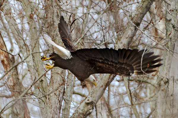 Bald-Eagle-Flying-CVNP-Web.jpg