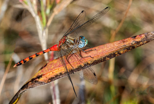 Blue-faced Meadowhawk (Sympetrum ambiguum), Lucas County, Ohio