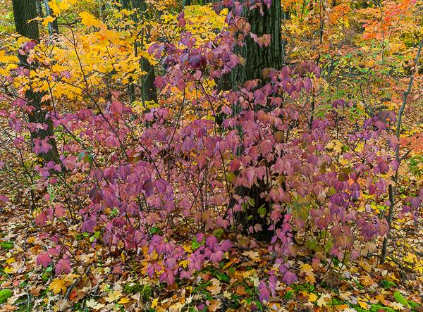 Maple Leaf Viburnum, Rocky River, Cleveland Metroparks