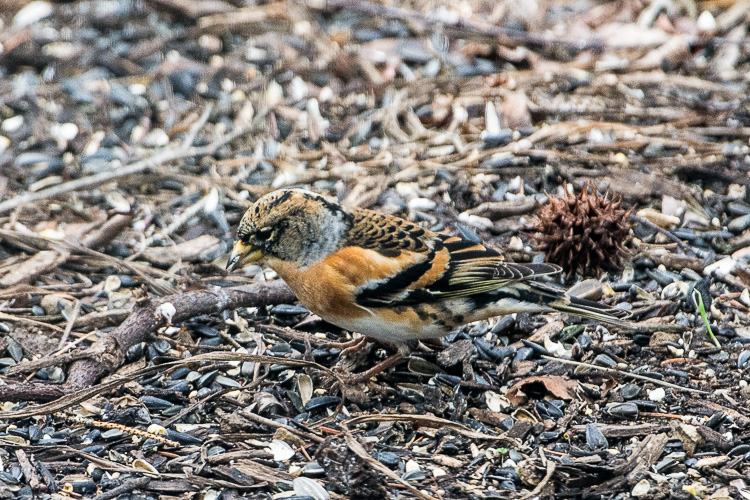 Brambling - Blog (1 of 2)