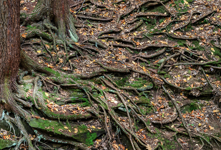 Image result for roots on rocks