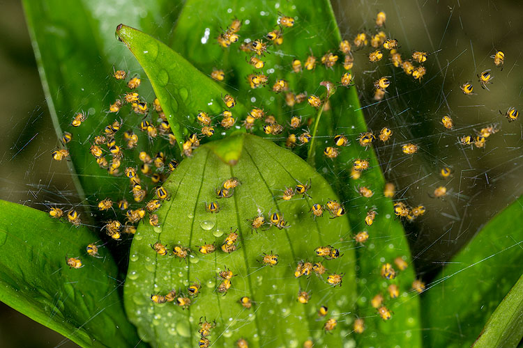 Golden-Argiope-Spiderlings-2.jpg