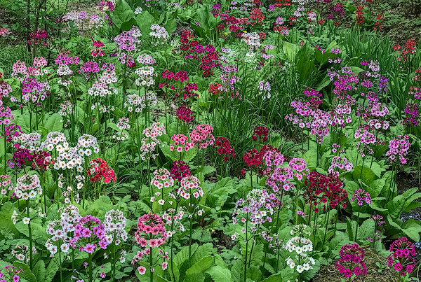 Japanese-Primroses-Lantern-Court-The-Holden-Arboretum-.jpg
