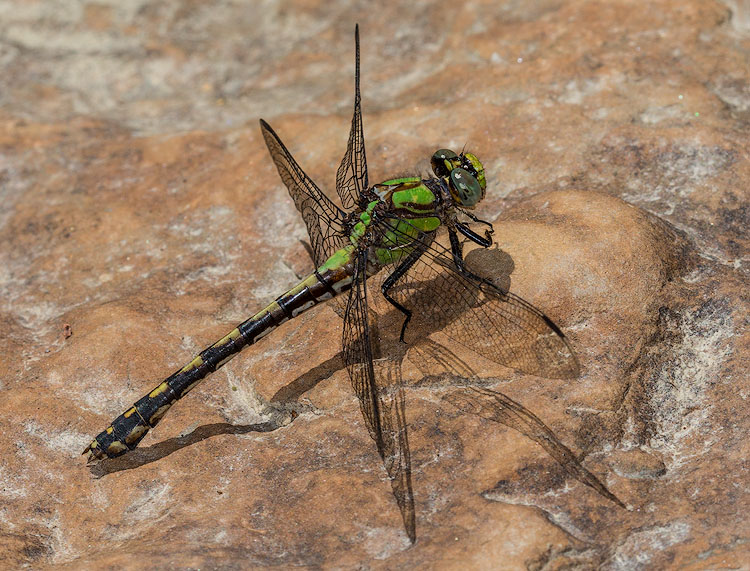 Riffle-Snaketail-Paine-Creek-Lake-County-Ohio.jpg