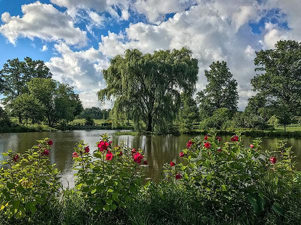 Rose-Mallows-Lotus-Pond-The-Holden-Arboretum.jpg