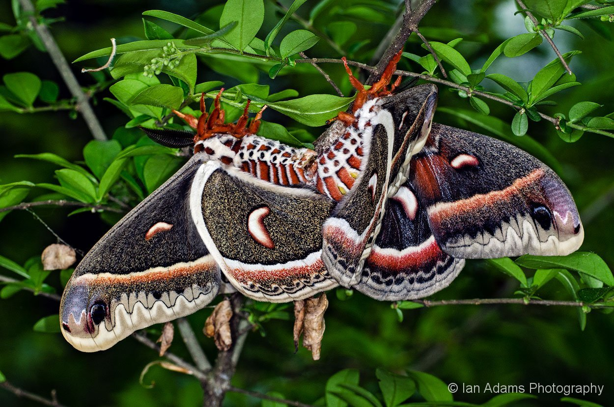 Slide moreover Slide moreover Mating Cecropia Moths additionally A furthermore Slide. on slide